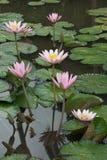 kwitnie lotosu Obraz Stock
