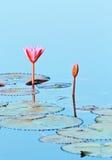 kwitnie lotosu Fotografia Royalty Free
