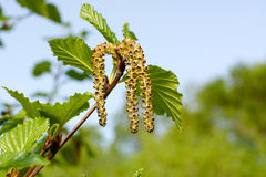 Kwitnie młodą brzozę Zdjęcia Stock