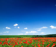 kwitnie maczka zdjęcia stock