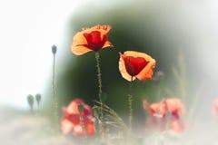 kwitnie maczka dzikiego Zdjęcia Stock