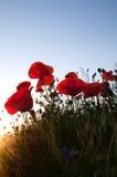 kwitnie maczka dzikiego Zdjęcie Royalty Free