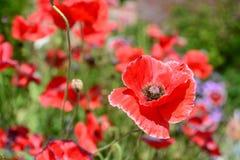 kwitnie maczki czerwonych Kyoto ogród botaniczny Japonia Obraz Royalty Free