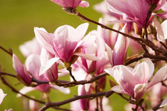 kwitnie magnolii Fotografia Stock