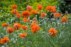 kwitnie makową czerwień Obrazy Royalty Free