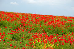 kwitnie makową czerwień Obrazy Stock