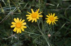 kwitnie marguerite kolor żółty Fotografia Stock