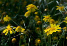 kwitnie marguerite kolor żółty Obrazy Royalty Free