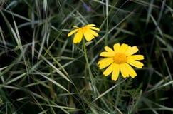 kwitnie marguerite kolor żółty Zdjęcie Stock