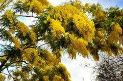 kwitnie mimozy kolor żółty Obraz Royalty Free