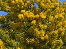 kwitnie mimozy kolor żółty Obraz Stock