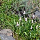 kwitnie muscari biel Fotografia Stock