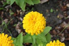 kwitnie nagietka kolor żółty Obrazy Stock