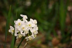 kwitnie narcyza biel Zdjęcie Royalty Free