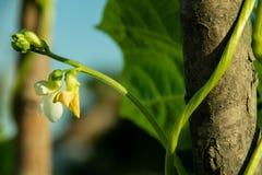 Kwitnie od warzyw, długie fasole które są świeże purpurowe i białe zdjęcia royalty free