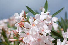 kwitnie oleanderu jasnoróżowego Zdjęcie Royalty Free