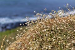 Kwitnie ont oceanside Obraz Stock