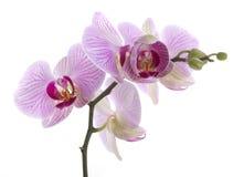 kwitnie orchidei Zdjęcia Royalty Free