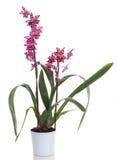 kwitnie orchidei Obrazy Royalty Free