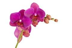 kwitnie orchidei Zdjęcie Royalty Free