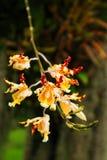 kwitnie orchidei Fotografia Royalty Free