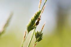Kwitnie pająka, goldenrod kraba Misumena vatia na sigle trawie le Obrazy Royalty Free