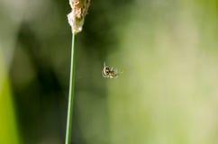 Kwitnie pająka, goldenrod kraba Misumena vatia na sigle trawie le Obrazy Stock