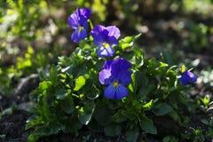 Kwitnie pansies wśród krzaków na flowerbed Fotografia Royalty Free