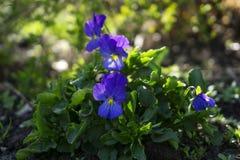 Kwitnie pansies wśród krzaków na flowerbed Zdjęcia Stock