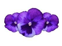 kwitnie pansy purpury Fotografia Royalty Free