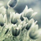 kwitnie pasque Zdjęcie Royalty Free