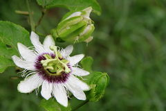 kwitnie passiflora Zdjęcie Royalty Free