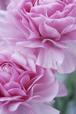 kwitnie pastelowe menchie Fotografia Stock