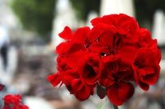kwitnie pelargonium czerwień zdjęcie royalty free