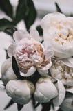 Kwitnie peonie na tle zdjęcie stock
