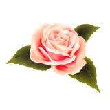 Kwitnie piękne róże Obraz Stock