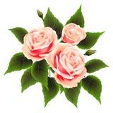 Kwitnie piękne róże Zdjęcie Stock