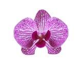 Kwitnie pięknej purpurowej orchidei na białym tle ilustracja zdjęcia royalty free