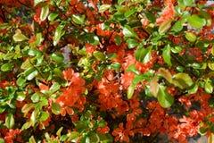 Kwitnie pigwy Chaenomeles Japoński japonica Thunb Li Obraz Royalty Free