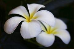 kwitnie plumeria Zdjęcie Royalty Free