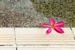 kwitnie plumeria zdjęcia stock