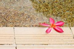 kwitnie plumeria obrazy stock