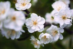 Kwitnie plumum Zdjęcie Royalty Free