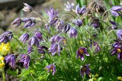 Kwitnie podesłania pasqueflower sen trawy Pulsatilla pateny L millage obraz royalty free