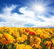 Kwitnie pola Obrazy Stock