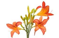 Kwitnie pomarańczowego leluja bukiet leluje (piękne odosobnione leluje) Fotografia Royalty Free