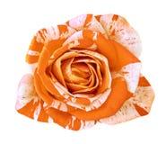 Kwitnie pomarańczowej biel róży odizolowywającej na białym tle Zakończenie bell świątecznej element projektu Obraz Royalty Free
