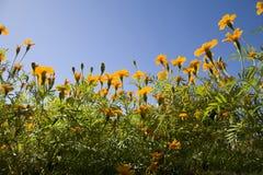 kwitnie pomarańcze Zdjęcie Royalty Free