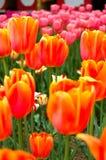 kwitnie pomarańcze Zdjęcie Stock