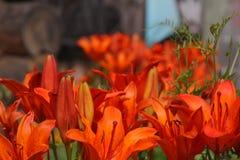Kwitnie pomarańczowe leluje Obrazy Royalty Free